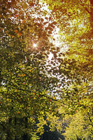 Forest in autumn. The sun shines trough the treeto