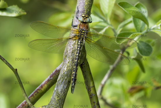 Female Hairy Hawker Dragonfly resting on a branch
