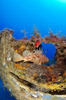 Scorpaena scrofa, Bigscale Red Scorpionfish, Gozo