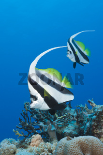 Paar Wimpelfische, Australien