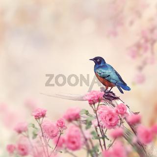 Superb Starling Bird