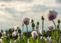 white poppies against clear sky