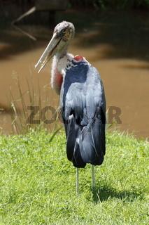 Marabou stork on grass.
