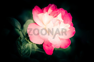 Abstract macro shot of beautiful pink rose flower with water drops at dark natural background
