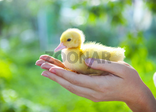 Woman holding yellow duckling outdoors