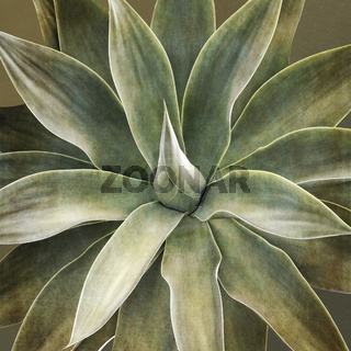 Drachenbaumagave (Agave attenuata)