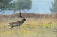 Fallow deer (Cervus dama) in Autumn, Germany