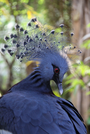 Victoria Crowned Pigeon