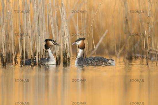 evening mood... Great Crested Grebes *Podiceps cristatus*