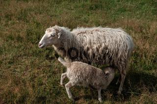 Lamb suckling his mother.