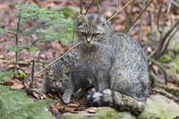 Wildcat, Common Wild Cat