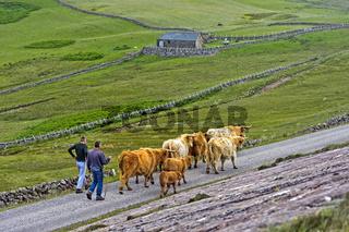 Viehhalter treibt eine Herde Schottischer Hochlandrinder, Assynt, Schottland, Großbritannien