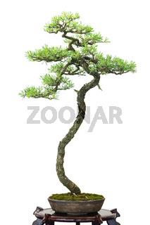 Nadelbaum Kiefer als Bonsai Baum