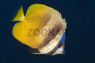 Kleins Falterfisch, Salomonen