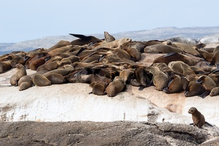 a colony of fur seals at duiker island south africa