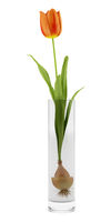 tulip in glass vase isolated on white background