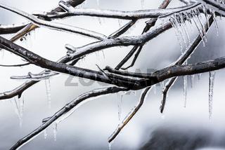 eisueberzogene Aeste, Lappland