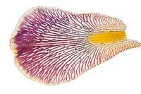 Iris petal. Macro