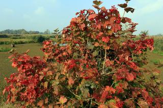 Guelder-rose, Schneeball, Viburnum opulus