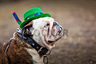 English bulldog wearing St Patrick#39;s Day hat