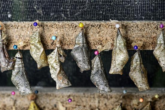 Chrysalises of Owl butterfly (Caligo sp.) lined for hatching, Mindo, Ecuador