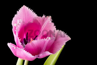 Pink Fringed Tulip on Black Background