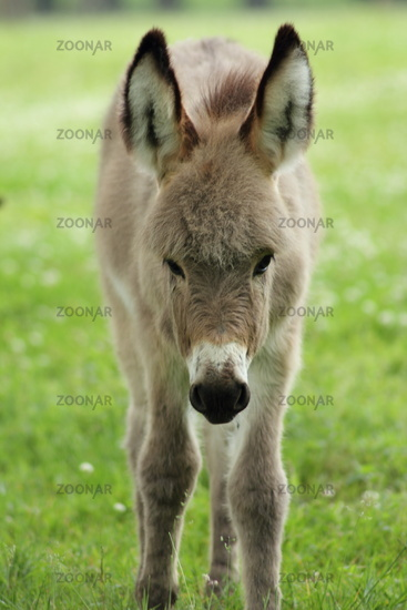 Young donkey on the willow