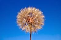 Tragopogon pratensis on blue sky