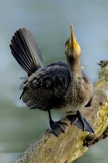 Kormoran (Phalacrocorax carbo)