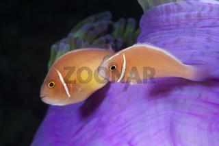 Halsband-Anemonenfisch, Salomonen