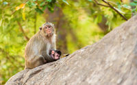 monkey sits on stone holding its little baby