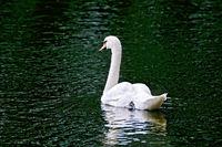 Swan white in green water