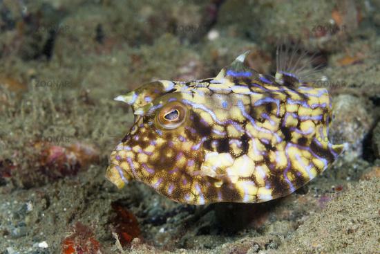 Rueckendorn-Kofferfisch, Indonesien