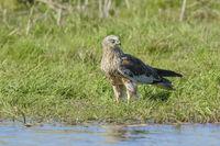 Male Western Marsh Harrier, Circus aeruginosus
