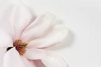 magnolia flower on paper