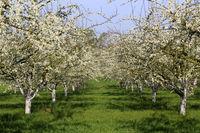 Kirschbaeume, cherry trees