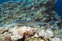 Weissspitzen-Riffhai, Australien