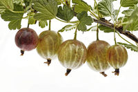 a single branch with fresh ripe gooseberries and leaves