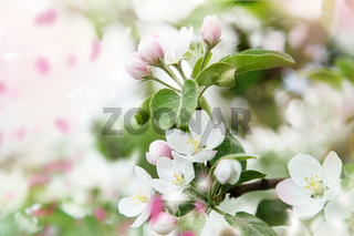 Spring blossoms in apple tree