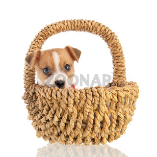 Jack russel puppy in basket