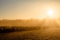 Sunrise Sheep