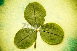 Dry three - leafed clover