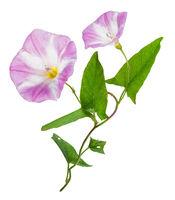Bindweed (Convolvulus arvensis) pink flower