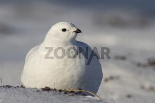 Rock Ptarmigan female is sitting on the snow