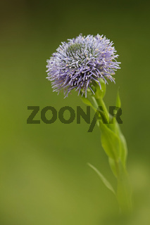 Gewoehnliche Kugelblume (Globularia bisnagarica)