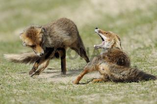Zähne zeigen... Rotfüchse *Vulpes vulpes*