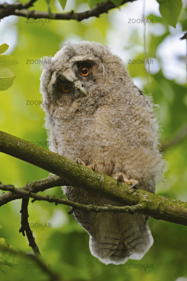 cute eyes... Long-eared Owl *Asio otus*