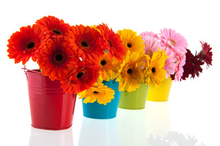 Colorful row with Gerber flowers