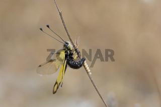 Kretischer Schmetterlingshaft, Libelloides rhomboides ssp. cretensis,  Crete Owlfly Ascalaphid