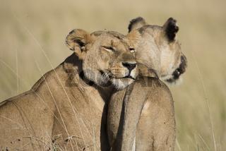 Loewe,Lion,Panthera leo,female,